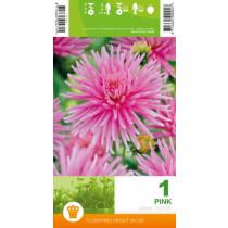 Dahlia Cactus Pink